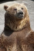 standing brown bear - stock photo