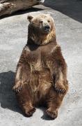 Brown bear (ursus arctos arctos) sitting on the ground Stock Photos