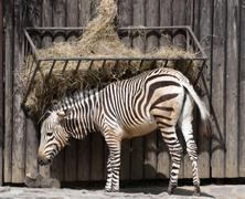mountain zebra feeding - stock photo