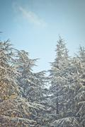 fir trees - stock photo