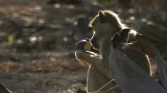 Young Savanna Baboon sitting and eating. Niassa Reserve, Mozambique. Stock Footage