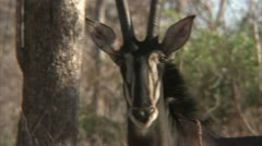 Adult antelope bull standing in Niassa Reserve, Mozambique. Stock Footage