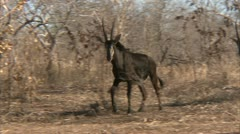 Adult antelope bulls walking in Niassa Reserve, Mozambique. Stock Footage