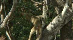 Infant Savanna Baboon in tree. Niassa Reserve, Mozambique. Stock Footage