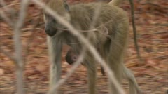 Adult and infant Savanna Baboons in Niassa Reserve, Mozambique. Stock Footage