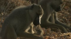 Adult Savanna Baboons foraging / eating in Niassa Reserve, Mozambique. Stock Footage