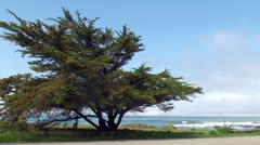 Lonely tree at the Big Sur Pacific coast Stock Footage