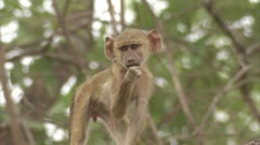 Male infant Savanna Baboon in tree, eating. Niassa Reserve, Mozambique. Stock Footage