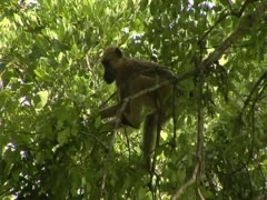 Adult Savanna Baboon sitting in tree, eating, in Niassa Reserve, Mozambique. Stock Footage