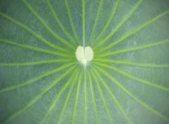 close up on lotus leaf - stock photo