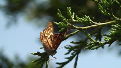 Painted Lady Butterly on a Juniper Branch Stock Footage