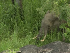 African Savanna Elephant roaming in Niassa Reserve, Mozambique. - stock footage