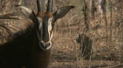 Adult antelope standing in Niassa Reserve, Mozambique. Stock Footage