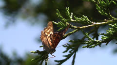 Painted Lady Butterfly on a Juniper Branch I Stock Footage