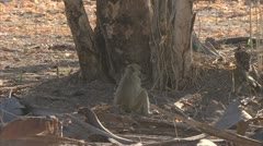 Young Savanna Baboon sitting and eating in Niassa Reserve, Mozambique. Stock Footage