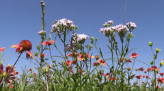 Wildflowers, a bugs-eye view - stock footage