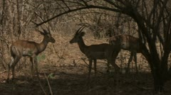 Antelopes locking horns in Niassa Reserve, Mozambique. - stock footage
