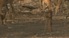 Antelope herd foraging in Niassa Reserve, Mozambique. Stock Footage
