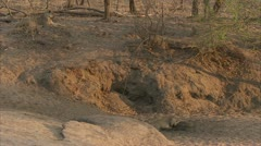 African lionesses in Niassa Reserve, Mozambique. Stock Footage