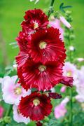 red hibiscus flowers - stock photo