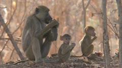 Adult Savanna Baboon with infants in Niassa Reserve, Mozambique. - stock footage