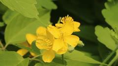 Celandine, nipplewort (Chelidonium) Stock Footage