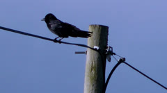 wildlife Bird on Telegraph Line Wire - stock footage