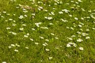 Stock Photo of Daisy field