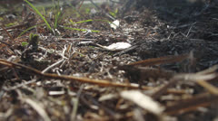 LEAF-CUTTER ANTS 02 1080 Stock Footage