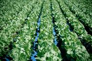 Stock Photo of cultivated field: fresh green salad bed rows
