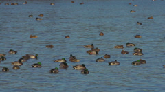 Flock of Sleeping Ducks in Rippling Water Stock Footage