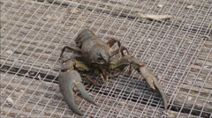 Crayfish waves claws Stock Footage