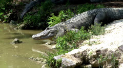 Alligator (Gator) creeps into water Stock Footage