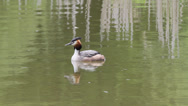 Stock Video Footage of Great Crested Grebe
