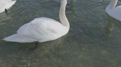 Mute Swan - Cygnus olor Stock Footage