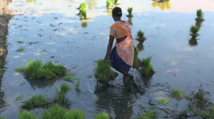 India Tamil Nadu wading in rice paddy harvesting plants 7 Stock Footage