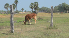India Tamil Nadu cow grazes between pillars 1 Stock Footage