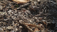 LEAF-CUTTER ANTS 01 1080 Stock Footage