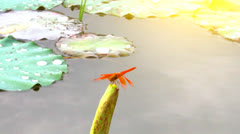 A small dragonfly on lotus pond Stock Footage