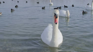 Stock Video Footage of Mute Swan - Cygnus olor