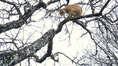 Cat climbing in a tree Stock Footage