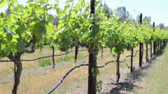 Vineyard with Grapevines blowing in the Wind - stock footage