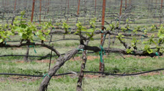 Grapevine in a Vineyard - stock footage