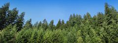 Pine Tree Forest Panorama - stock photo