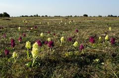 orchids field - stock photo