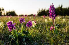 orchid meadow - stock photo