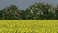 Stock Video Footage of Rapeseed (Brassica napus) - hawthorn at horizon + zoom out yellow field