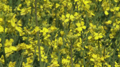 Bright yellow Rapeseed (Brassica napus) in field - full screen Stock Footage