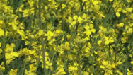 Stock Video Footage of bright yellow Rapeseed (Brassica napus) in field - full screen