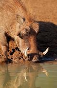 Warthog drinking water Stock Photos